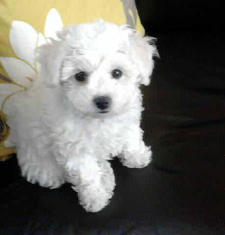 Bichon Frise Puppies on Bichon Frise Puppies Available   Bichon Frise Breeder   Bichon Frise